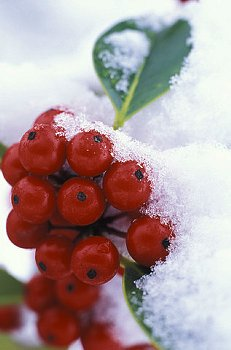 berries in ice